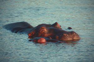 hippos-LQ.jpg